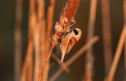一惊人的罕见的Penduline山雀Remiz pendulinus栖息和哺养在一株纸莎草的昆虫在日出之后 库存图片