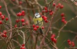 一惊人的蓝冠山雀cyanistes caeruleus在吃野玫瑰果的狗玫瑰丛栖息 免版税图库摄影