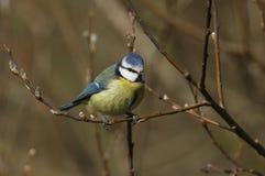 一惊人的蓝冠山雀Cyanistes caeruleus在褪色柳树的分支栖息 免版税库存图片
