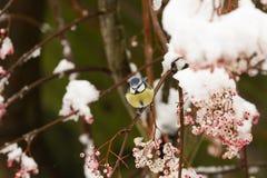 一惊人的蓝冠山雀Cyanistes caeruleus的冬天场面在一棵山脉灰树的分支栖息在暴风雪的 莓果 免版税图库摄影
