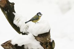 一惊人的蓝冠山雀Cyanistes caeruleus的冬天场面在雪盖的一个老树桩栖息 免版税图库摄影