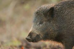 一惊人的野公猪SU scrofa的顶头射击在哺养在森林里的日落的 库存图片