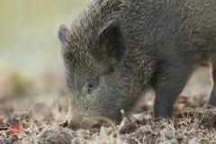 一惊人的野公猪SU scrofa的顶头射击在搜寻为食物的日落的在森林里 图库摄影