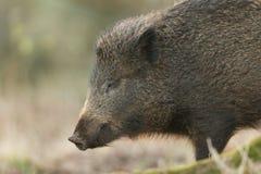 一惊人的野公猪SU scrofa的顶头射击在搜寻为食物的日落的在森林里 免版税库存照片
