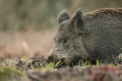 一惊人的野公猪SU scrofa的顶头射击在搜寻为食物的日落的在森林里 免版税库存图片