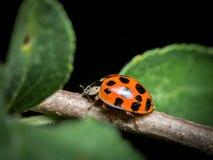 一成人亚洲ladybeetle坐一根小枝杈 免版税库存照片