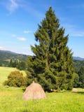 一把干草的堆在云杉的树下 免版税库存照片