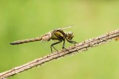 一把美丽的Black-tailed漏杓,蜻蜓,Orthetrum cancellatum,栖息在起毛机植物词根 免版税库存照片