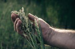 一捆狂放的草本的耳朵在一位疲乏的农夫的疲乏的手上在 收获季节 在午饭时间 热的夏日 库存照片