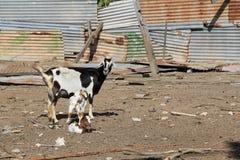 一支典型的山羊笔在安提瓜岛巴布达 免版税图库摄影