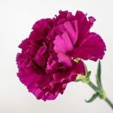 一支壮观的紫色康乃馨 免版税库存照片