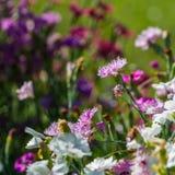 一支康乃馨的花在花床的背景的 免版税库存照片