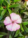 一支开花的土耳其白色康乃馨 免版税图库摄影