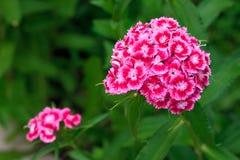 一支明亮的桃红色康乃馨的特写镜头在领域的 免版税库存照片