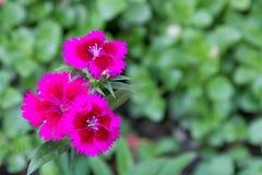 一支桃红色康乃馨的分支 库存照片