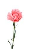 一支桃红色康乃馨 库存图片