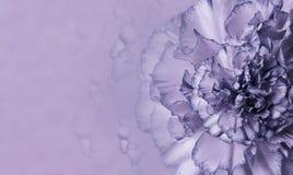 一支紫色康乃馨的花在紫罗兰色单音背景的 特写镜头 明信片的花卉背景 库存照片