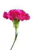 一支紫色康乃馨 免版税库存照片