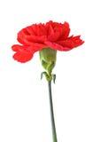 一支红色康乃馨 库存照片