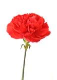 一支红色康乃馨 免版税库存图片