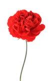 一支红色康乃馨 免版税图库摄影