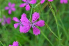 一支领域康乃馨的紫色花在绿草背景的  免版税库存图片