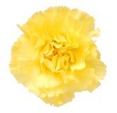 一支黄色康乃馨 库存图片
