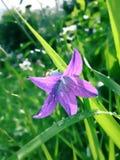 一明亮的紫色wildflowe 库存图片