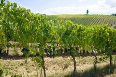 一晴朗的9月天在托斯卡纳的葡萄园里 意大利 免版税库存图片