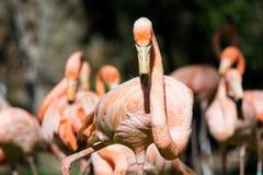 一更加伟大的火鸟Phoenicopterus roseus -鸟的看法 库存照片