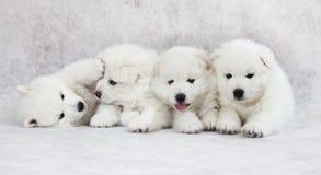 一月大萨莫耶特人小狗 免版税库存照片