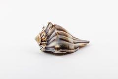 一有节的峨螺。 库存图片
