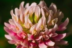 一朵三叶草花的特写镜头在绿色blury背景的 库存照片