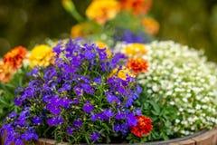 一朵五颜六色的夏天花的特写镜头照片 图库摄影