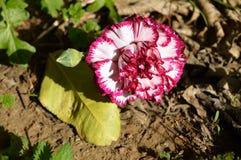 一朵五颜六色的康乃馨花的特写镜头,自然,宏指令 免版税图库摄影