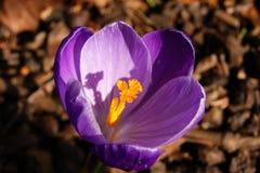 一朵五颜六色的春天番红花 免版税库存照片