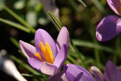 一朵五颜六色的春天番红花 免版税图库摄影