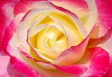 一朵五颜六色的玫瑰的美好的心脏 免版税库存图片