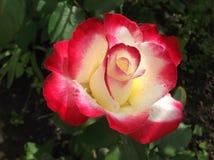 一朵五颜六色的玫瑰 免版税库存照片