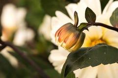 一朵五颜六色的花的特写镜头 免版税库存图片
