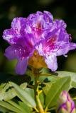 一朵优秀开花的花是非常美丽和上色在许多颜色 库存图片