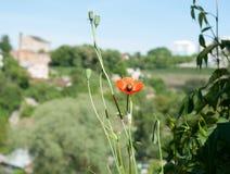 一朵偏僻的花 红色鸦片 免版税库存照片