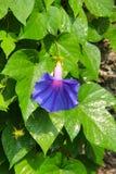 一朵充分地开放蓝色和紫色牵牛花花用水在它的瓣滴下 免版税库存照片