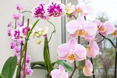 一朵充满活力的热带桃红色和桃子兰花开花,花卉背景 有选择性的软的焦点 在窗口的兰花 美好的家bo 图库摄影