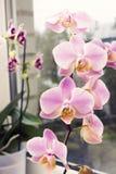 一朵充满活力的热带桃红色和桃子兰花开花,花卉背景 泰国兰花美丽的家庭花束在内部的 Sel 图库摄影
