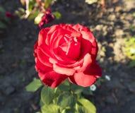 一朵公园猩红色玫瑰花在一个晴天 免版税库存照片