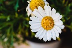 一朵共同的雏菊在庭院里 免版税库存图片