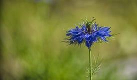 一朵典雅的花的蓝色瓣在一个稀薄的分支的 免版税库存图片