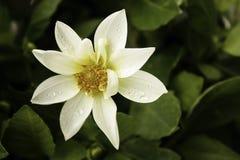 一朵华美的白色大丽花本质上 免版税图库摄影