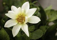 一朵华美的白色大丽花本质上 库存图片